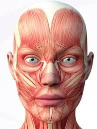Representação da musculatura de face e pescoço de um adulto | Reprodução: http://vitaclinica.com.br